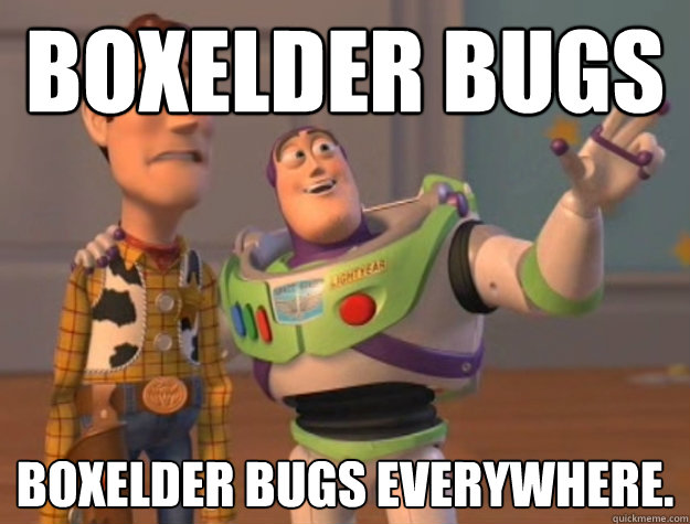 boxelder bugs boxelder bugs everywhere - Buzz Lightyear
