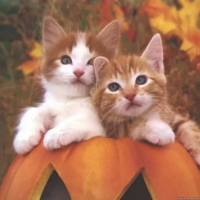 - my friend's cats on a pumpkin together