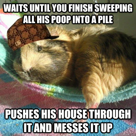 waits until you finish sweeping all his poop into a pile pus - Scumbag Guinea Pig
