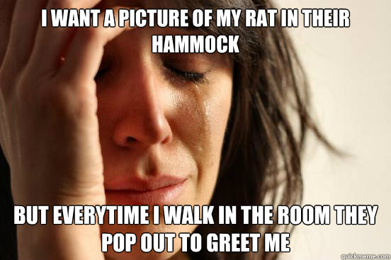 i want a picture of my rat in their hammock but everytime i  - First World Problems