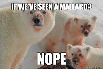 if weve seen a mallard nope - Bad News Bears