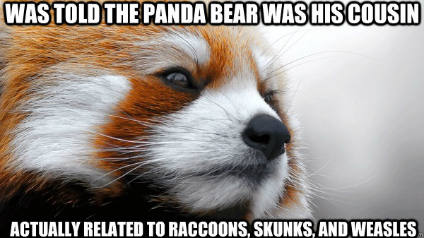was told the panda bear was his cousin actually related to r - Pensively Pondering Red Panda