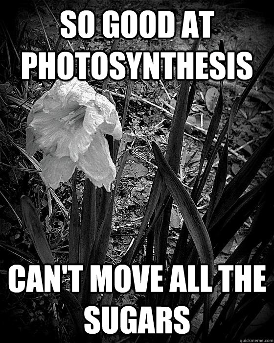 so good at photosynthesis cant move all the sugars - First World Plant Problems