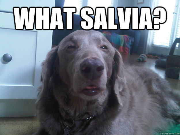 what salvia  - 10 Dog